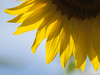 Rayons de soleil **--- ° (Titole) Tags: petals yellow sunflower bluesky backlit titole nicolefaton thechallengefactory friendlychallenges