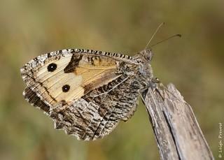 Grayling, Hipparchia semele