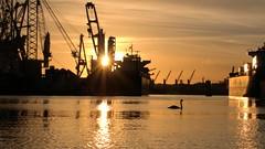 Swan in harber (Giel Pieter) Tags: rotjeknor rotterdam waalhaven swan bird sky sunset harber water boot ship panasoniclumixgx7