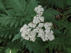 Tanacetum macrophyllum - Asteraceae (Kerry D Woods) Tags: tanacetum macrophyllum asteraceae