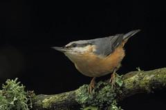 Nuthatch (Sybalan,) Tags: scotland summer wildlife woodland westcoast birds trees tree wild outdoor ornithology httpsybalanphotographyweeblycom canon 550d
