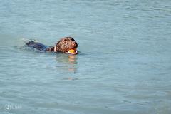 chase-roam-early-morning-mamquam-200816-ajbarlas-1197.jpg (A R D O R) Tags: ajbarlas ardorphotography blacklab chase chocolatelab dogs labrador puppy roam