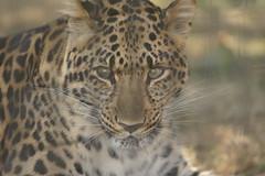 055_Great Cats Park_Leopard (steveAK) Tags: greatcatsworldpark leopard