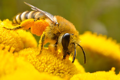Bee (Artur Rydzewski) Tags: bee insect nature yellow flowers macro