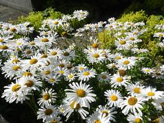 Daisy Flowers, Aberdeen, August 2016 (allanmaciver) Tags: daisy flowers shoe delight admire east coast grampian allanmaciver