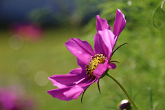 . (Erich Hochstger) Tags: blume flower blte blossom rosa pink natur nature nahaufnahme closeup imfreien outdoor canoneos70d sigma18300mm