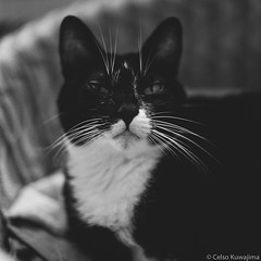 Whiskers (Celso Kuwajima) Tags: vsco kodaktrix400 whiskers leca mamiyasekor80mmf28 cat shallowdof 120film kodakprofessionaltrix400 bw mamiyac330 teste indoor sopaulo brazil br bokeh