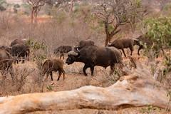 Buffalo Herd (Roy Prasad) Tags: kenya africa safari nairobi prasad royprasad travel serengeti landscape jungle tsavo animal wildlife canon 5ds 5dsr 200400mm 1dx 1dxm2 sony rx10 rx10m3 buffalo