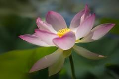 Reinheit, Weisheit, Schnheit..... (SonjaS.) Tags: blumen wilhelma lotusblte lotus flowers sommer summer teich