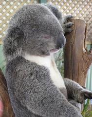 Mr Cool (Mal Doobie) Tags: featherdale animal featherdalewildlifepark australianwildlife sydney phascolarctoscinereus koala marsupial