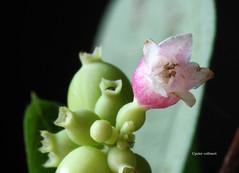 23-IMG_4420 (hemingwayfoto) Tags: blte busch macro natur pflanze pink rose schneebeere