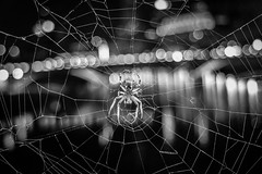 Urban Arachnid (tim.perdue) Tags: urban arachnid spider animal bug web columbus ohio downtown city skyline lights bokeh main street bridge night dark black white bw monochrome