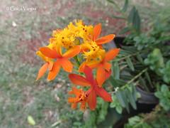 o r c h i d ( Graa Vargas ) Tags: epidendrumradicans orchid flower graavargas 2016graavargasallrightsreserved orqudea