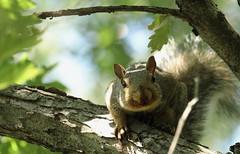 Squirrel, Morton Arboretum. 358 (EOS) (Mega-Magpie) Tags: canon eos 60d nature outdoors squirrel tree branch green leaf the morton arboretum lisle dupage il illinois usa america cute