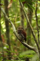 IMG_1894 (il carciofo) Tags: rainforest singaraja srilanka owl gufo