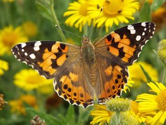 Painted Lady (martindove) Tags: painted lady imago wildlife nature lepidoptera tophill low