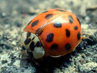 Multicolored Asian Lady Beetle or Ladybug Harmonia axyridis #15