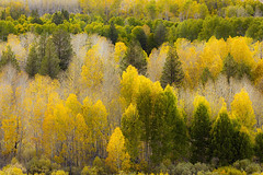 Summer to Fall (Eunice Eunjin Oh) Tags: summertofall fallcolors bishop easternsierra inyocounty aspentrees autumn nature outdoorphotography trees yellow green