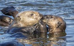 Sea Otter Mother feeding Pup (Ken Phenicie Jr.) Tags: seaotter mother meal feeding pup mosslanding
