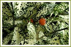 Folhas e sementes (o.dirce) Tags: folhas sementes planta vegetao vegetaotropical riodejaneiro odirce