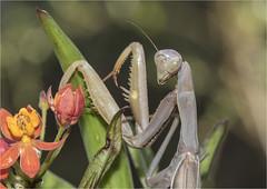 European Mantis, Mantis religiosa, Praying Mantis--Here's Looking at You (marlin harms) Tags: europeanmantis prayingmantis mantisreligiosa mantis mantid