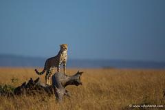 Elegant cheetah (Usha Harish) Tags: masaimara wildlife wildlifesafari wildlifephotography animals africa africansafari savannah africansavannah africageographic kenya travelkenya kenyasafari canon5dmarkiii canon500mmisii bigcat bigcats predator