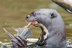 More otter eating fish! (Tambako the Jaguar) Tags: close closeup devouring giantotter otter profile water river eating fish food holding wildanimal wild wildlife nature pantanal matogrosso brazil nikon d5
