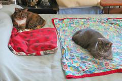 Gracie (left) and Millie (right) 28 August 2016 0789Ri 4x6 (edgarandron - Busy!) Tags: gracie patchedtabby millie graytabby cat cats kitty kitties tabby tabbies cute feline