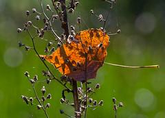 trapped leaf (lookseeseen) Tags: leaf orange fall