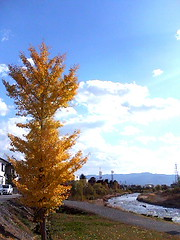 071121_1327 (finalistJPN) Tags: sunnyday autumnsky autumnleaves colors sunshine daylight symmetrytree yellowleaves discoverjapan japanguide traveljapan nationalgeographic discoverychannel evening stockphotos availablenow