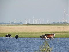 Meldorfer Bucht/Dithmarschen (Jorbasa) Tags: jorbasa geotag hessen wetterau germany deutschland meldor bucht marktplatz schleswigholstein tiere cow animal wasser hafen priel water tideway