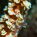 Wire Coral Goby - Bryaninops yongei