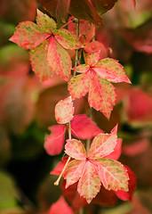 colores de otoo, falsa vid (Marin ;)) Tags: otoo hojas colores rojo amarillo verde tamron macro jardin parra falsavid