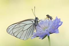 Baum-Weißling │ Black-veined white │ Aporia cratae (Faltermann) Tags: insekten schmetterlinge tagfalter baumweisling blackveinedwhite aporiacratae insects lepidoptera butterfly visipix