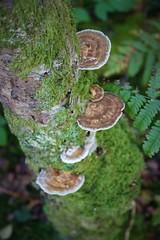 IMG_7078 (2) (abioverton) Tags: bracket fungus moss