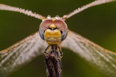 female eyes (Santi BF) Tags: sympetrumfonscolombii sympetrum liblula libllula dragonfly odonato odonata anisptero anisoptera aproximacin macro closeup