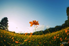 KEN_0615 (KenPhotographys) Tags: travelphoto travelasia travelphotograhy travelworld travel travelthejapan traveljapan tokyo landscape seetheworld snapshot snap scenery shinjuku shibuya flower flowers sky skyporn bluesky sunset cosmos