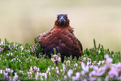 Red Grouse giving me a stare (Steve Moore-Vale) Tags: red grouse lagopus bokeh heather calluna vulgaris yorkshire birds aves animals game