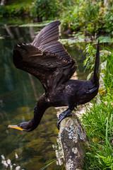 DSC_5407 (sergeysemendyaev) Tags: 2016 rio riodejaneiro brazil jardimbotanico botanicgarden     outdoor nature plants    bird  green  beauty  water