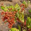 Heteromeles arbutifolia, CHRISTMAS BERRY, TOYON. (openspacer) Tags: berry heteromeles jasperridgebiologicalpreserve jrbp rosaceae shrub toyon