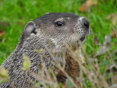 I can see you (John Rothwell) Tags: groundhog woodchuck yard grandrapids backyard michigan city urban nature birds animals riverside