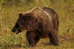Snarly Bear (Derbyshire Harrier) Tags: brownbear ursusarctos teeth snarl 2016 finland tiagaforest borealforest summer martinselkosenerkeskuswildlifecentre wild martinselkosenerkeskus naturetrek