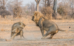 Not in the mood! (tickspics ) Tags: africa lion pantheraleo southluangwa zambia luangwavalley iucnredlistvulnerable