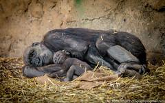 Bonding Time (westrock-bob) Tags: babe mother gorilla calgary bonding western bobcuthillphotographygmailcom canon lowland animal 6d copyright bobcuthill alberta canada canoneos6d canon6d zoo