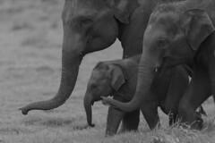 Calf_well Guarded (varmarohit) Tags: srilanka lanka minneriyanationalpark wildlifephotography wilderness wildlifephotograph naturephotography nature naturephotograph rohitvarma rohit elephant elephants elephantcalf