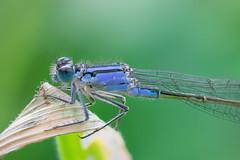 Damselfly (phagileo) Tags: damselfly blue kleinlibelle libelle dragonfly outdoor nature insect insekt nikon d3300 sigma 105 summer natur animal green handheld focus stack