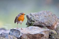 Pettirosso _014 (Rolando CRINITI) Tags: pettirosso uccelli uccello birds ornitologia arenzano natura