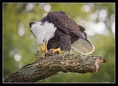 Ravenous... (DTT67) Tags: baldeagle eagles american birds wildlife nature nationalgeographic canon 1dxmkii 500mmii 14xiii raptors