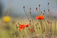 Autumn poppies (Richard Holding) Tags: automne autumn coquelicot poppies poppy