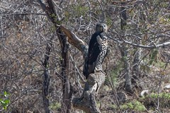 Aigle couronné (isobel333) Tags: limpopo lowveld balulenaturereserve aiglecouronné crownedeagle stephanoaetuscoronatus toroyaka afriquedusud southafrica